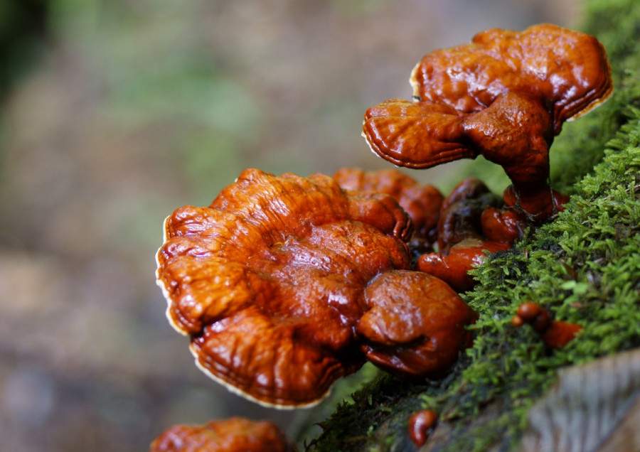 Food trend 2020. Superfood: dall'oriente i Funghi Reishi.